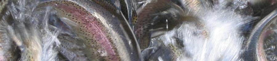 les truites roses de la pisciculture Beaume